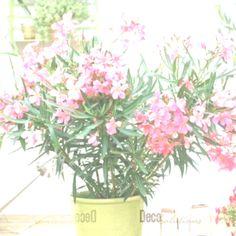 poisonous houseplants - oleander