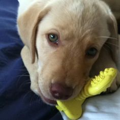 Yellow Lab Puppies With Blue Eyes | www.pixshark.com ...