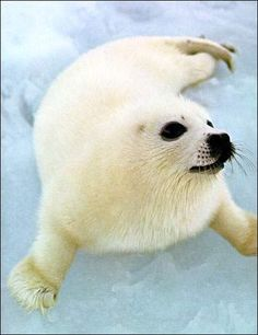 DONT KILL ME! SAVE ME! Stop the Canadian seal slaughter now! -Wildlife Earth
