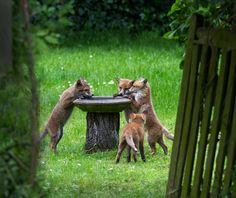 Tis Life — pagewoman:     Fox cubs at the bird bath, Surrey,...