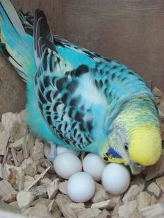 quiet please... doting mama bird with her beautiful eggs
