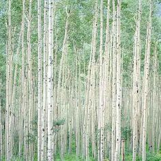 I love the way the colors in this photo shift in the image. The photo is Summer Aspen Forest, Colorado, 1999 by Christopher Burkett.