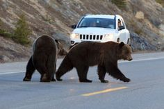 Mating pair of grizzlies near Beauty Creek on Icefields Parkway
