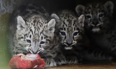 Snow Leopard cubs, born this summer in Korkeasaari Zoo, Helsinki