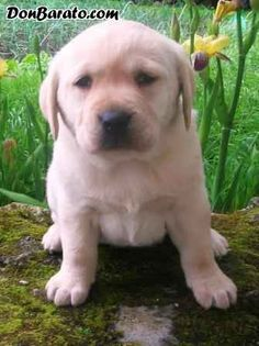 Labrador retriever cachorros seleccionados