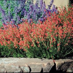 Penstemon pinifolius Compactum  Compact Pineleaf Penstemon Compactum is hands down one of the very best native wildflowers for waterwise gardens. This tiny shrub has a profusion of bright scarlet flowers in late spring and tidy, tight growing branches of evergreen pine needle-like leaves.