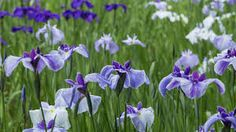 Risultati immagini per iris