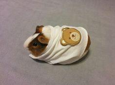 A guinea pig in a onesie