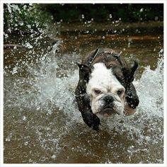 Perro corriendo en el agua es despreocupado