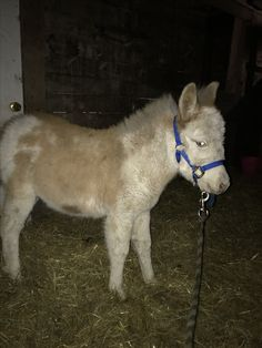 Ferris, my 2017 pinto mule colt