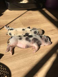Sleeping, sleeping and sleeping Cute Baby Pigs, Cute Baby Cow, Cute Piglets, Baby Cows, Baby Farm Animals, Cute Little Animals, Animals And Pets, Baby Animals Pictures, Cute Animal Photos