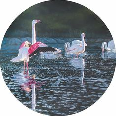 """Soutpan Symphony"" acrylic on panel is part of the 2019 FynArts Tondo exhibition. These flamingos' habitat is being threatened by a combination of drought and people's houses around the Vermont Soutpan here in Hermanus. Bird Species, Conservation, Habitats, Fine Art America, Original Paintings, Wildlife, Africa, Design Inspiration, Birds"