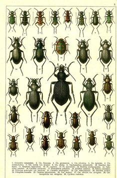 20. Procerus scabrosus var. tauricus. 21. Carabus stscheglovi. 22. Carabus tuberculosus. 23. Diachila arctica. 24. Pelophila borealis. 25. Carabus talyschensis. 26. Carabus besseri. 27. Carabus ullrichi var. arrogans. 28. Carabus hungaricus var. mingens. 29. Cychrus rostratus.