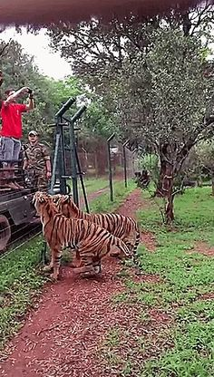 """Two Tigers: """"Now THAT is what you call 'A Tiger's Leap!' Just play 'Gif' to see The Tiger's very powerful legs propel him straight into the air!"""""""