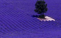Just near Mont-Ventoux, these lavender fields are like nothing you have ever seen before. The highest concentrations of lavender fields are located on the high plateaux around Sault and Apt and Gordes. Here, you will find endless rows of flowers in full bloom between June and August.