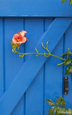 Flower in front of a blue wood shutter in Brittany, France