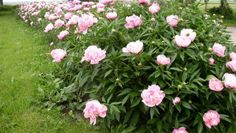Peony Bushes--I have found these in random places throughout the yard. I love them, but have no idea what color blooms I will get. ***Do not try to transplant Peonies! They don't handle moving well and mine died :( *** Flower Farm, Flower Beds, Perrenial Flowers, Front Porch Landscape, Peony Bush, Flora Garden, Landscaping Tips, Green Plants, Pink Peonies