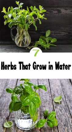 How To Grow Herb Plants In Water