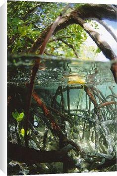 Mangrove roots byRobert Harding