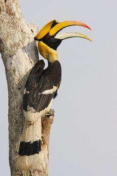 Reptiles, Mammals, Rainforest Birds, All Birds, Exotic Birds, Borneo, Birdhouses, Beautiful Birds, Sunflowers