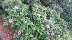 Japanese roses best bloom year yet  June 1 2015