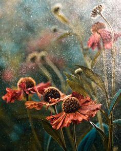 Rose e formiche nei giardini da podio