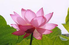 Lotus- my new symbol of inner peace