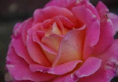 Wie wil er geen bos rozen op Valentijn? Hint!