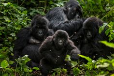 Democratic Republic of Congo wants to open up Virunga national park to oil exploration