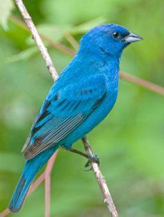 My other favorite bird...Indigo Bunting  /  Male