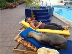 This seal was rescued from a fisherman's net and since the last 3 months is living at this hotel, returning time to time to the ocean for a little while, then coming back to her hotel; her name is Panchita, she is pregnant and when she feels too tired, she takes a nap around the swimming pool as every body else.