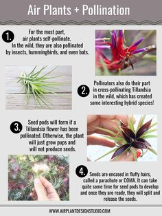 How are air plants pollinated in the wild? What can you do with Tillandsia seeds? Learn all about air plant pollination and growth from Air Plant Design Studio. Succulent Gardening, Planting Succulents, Indoor Gardening, Indoor Herbs, Moss Garden, Succulent Planters, Succulents Garden, Hanging Planters, Cactus Plants
