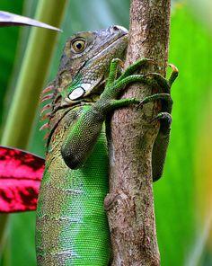 Green Iguana at Mawamba, Tortuguero, Costa Rica.