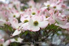 Pink Blossoms- Photograph by Shannon Wagner