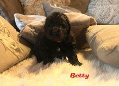 Betty und ihre acht Geschwister von #amdoolittlehof von Elisabeth #kurnik - die ersten Aufnahmen der #Neufundländerbabies Dogs, Animals, Siblings, Puppys, Pet Dogs, Pictures, Animales, Animaux, Doggies