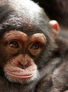 Tacugama Chimpanzee Sanctuary – Sierra Leone an up and coming royal. Tacugama Chimpanzee Sanctuary – Sierra Leone an up and coming royal. Primates, Mammals, Nature Animals, Animals And Pets, Wild Animals, Beautiful Creatures, Animals Beautiful, Cute Baby Animals, Funny Animals