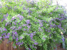 Solanum Bush