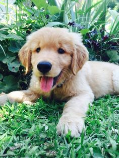 Happy Golden Retriever Puppy!!