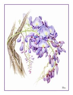 Blauweregen kaarten en prenten van originele botanische