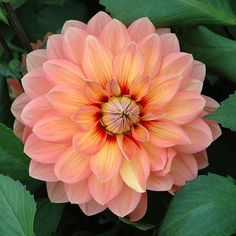 Dahlia Tubers for Sale | Cactus, Ball, Pom pom & More - Plant Me Now