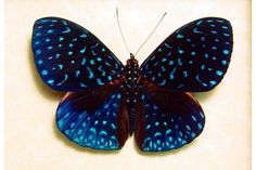 This gorgeous butterfly makes me wish I lived in Costa Rica so I could see a live one flutter by.