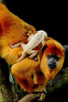 Tamarin monkey & baby ✿⊱╮
