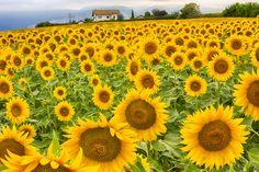 Abruzzo La casa tra i girasoli - the house between sunflowers
