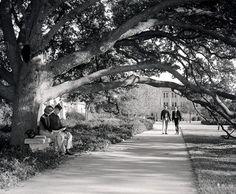 Texas A & M's Century Tree in 1967