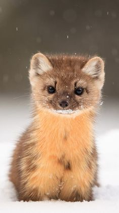 cute creatures Pine martens are adorable Cute Creatures, Beautiful Creatures, Animals Beautiful, Cute Little Animals, Cute Funny Animals, Nature Animals, Animals And Pets, Animals In Snow, Animals Images