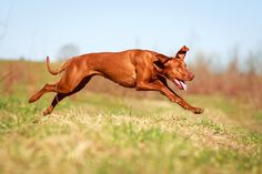 """The """"spokesdog"""" for the Magyar Vizsla and the Velcro Athletic Department from Blu & Red #vizslalife #bluandred"""