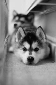 Siberian Husky, while I do like the photo, a little concerned for the tight space the dogs are in, wish I had the source of the photo!