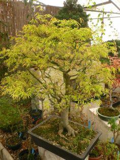 rs-Bonsai-Acer-palm-Ukigumo-japan-Faecherahorn-009