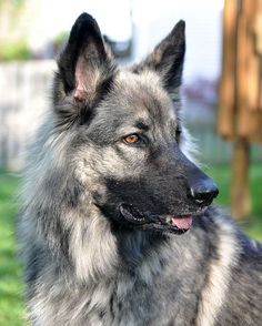 SHILOH SHEPHERD DOG | Any German Shepherd fanatics out there? If you're just a straight up German Shepherd fanatic then you're going to absolutely love these 9 other extremely GSD-esque breeds!
