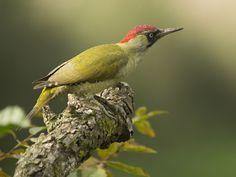 groene specht Fotograaf: PietSchuttelaa Dit is het vrouwtje want het mannetje heeft een rode vlek in de zwart omrande baardstreep Nederlandse naam: groene Specht Wetensch. naam: Picus viridis